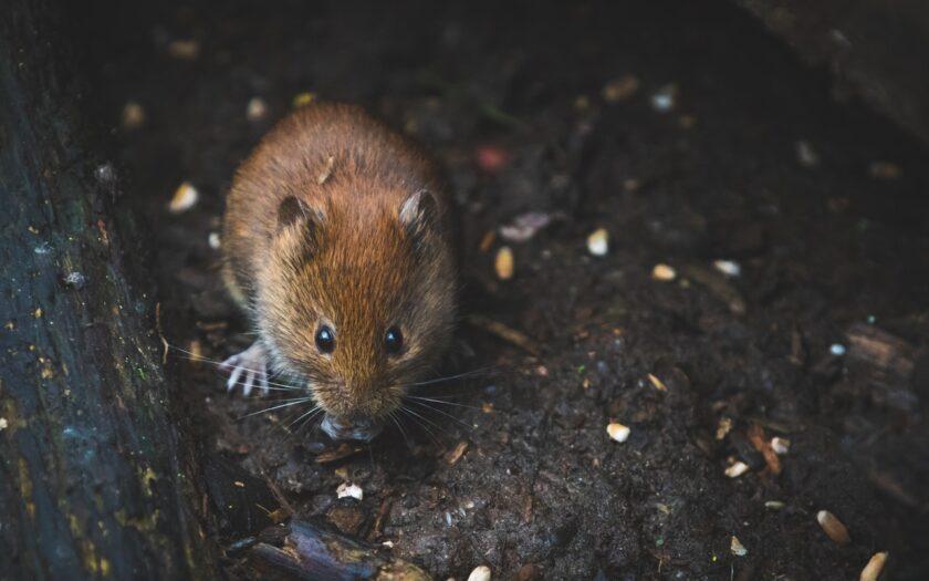 Infestazioni di ratti: come liberare la propria attività commerciale
